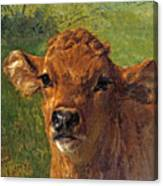 Head Of A Calf Canvas Print