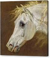 Head Of A Grey Arabian Horse  Canvas Print