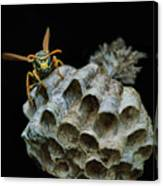 Head-on - Paper Wasp - Nest Canvas Print