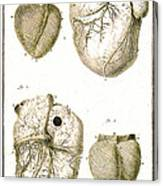 Heart And Muscle Fibers, 18th Century Canvas Print