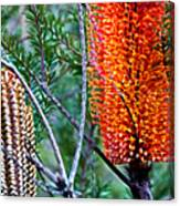 Heath Banksia From Fairfax Walk Canvas Print