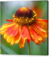 Heavenly Zinnia Canvas Print