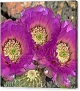 Hedgehog Cactus Triplets Canvas Print