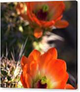 Hedgehog Flowers In Dawn's Early Light  Canvas Print