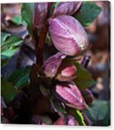 Heliborus Early Flower Buds 1 Canvas Print