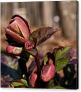 Heliborus Early Flower Buds 2 Canvas Print