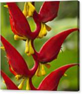 Heliconia Dielsiana Canvas Print