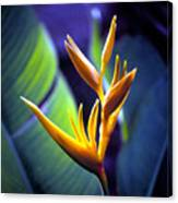 Heliconia Rhizomes Canvas Print