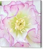 Hellebore Blossom  Canvas Print