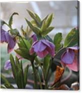 Helleborus Lenten Rose Canvas Print