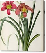 Hemerocallis Fulva Canvas Print