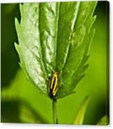 Hemiptroid Sucking Bug Canvas Print