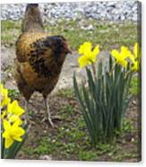 Hen And Daffodils Canvas Print