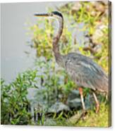 Henry The Great Blue Heron Canvas Print