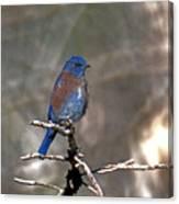 Henrys Western Bluebird Canvas Print