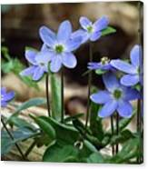 Hepatica Blue Canvas Print