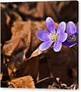 Hepatica Flower Canvas Print