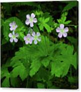 Herb Robert On The Ma At Canvas Print