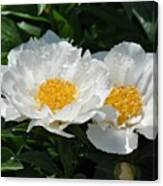 Herbaceous Peony 1 Canvas Print