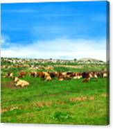 Herd Of Cows Under A Blue Sky In Green Hills Canvas Print