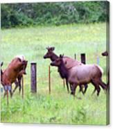Herd Of Elk Leaping - Western Oregon Canvas Print
