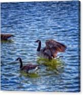 Herding Geese Canvas Print