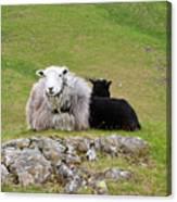 Herdwick Sheep On A Hillside In Cumbria Canvas Print