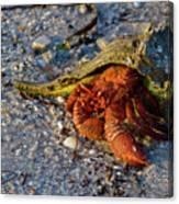 Hermit Crab- Florida Canvas Print