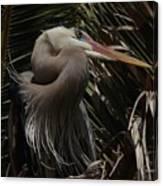 Heron Close-up Canvas Print