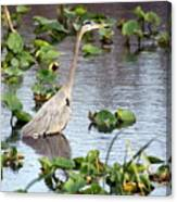 Heron Fishing In The Everglades Canvas Print