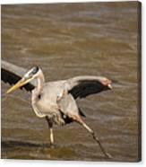 Heron - Hokey Pokey Canvas Print