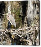 Heron In Everglades Canvas Print