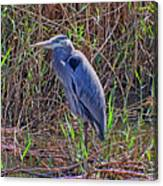 Heron In Marshes Canvas Print