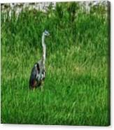 Heron In The Grasses Canvas Print