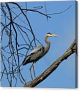 Heron In Tree  4998 Canvas Print