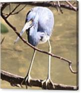Heron On Branch Canvas Print