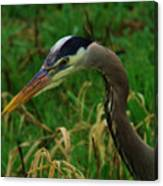 Heron Stare Down Canvas Print