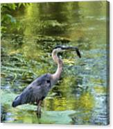 Heron With Fish Canvas Print