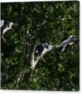 Herons Landing Canvas Print