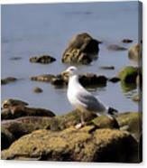 Herring Gull At Charmouth Canvas Print