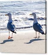Herring Gulls On The Beach Canvas Print