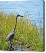 Herron In The Grasses Canvas Print