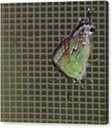 Hessel's Hairstreak Butterfly Canvas Print