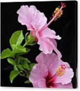 Hibiscus 7 V4 Canvas Print