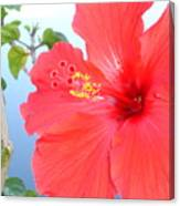 Hibiscus At Full Bloom Canvas Print