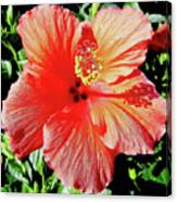 Hibiscus - Dew Covered - Beauty Canvas Print