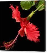 Hibiscus On Black Background Canvas Print