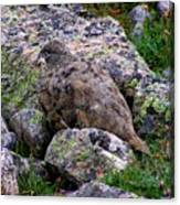 Hidden Ptarmigan Canvas Print