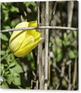 Hidden Yellow Tulip 02 Canvas Print