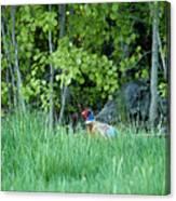 Hiding In The Grass. Pheasant Canvas Print